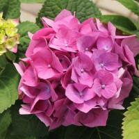 Auginu ir prekiauju daugiametėmis gėlėmis