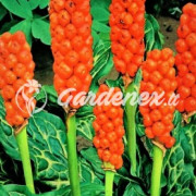 Irenos gėlės MB